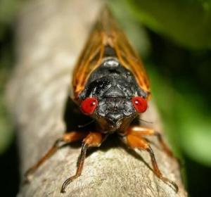 Cicada 2013
